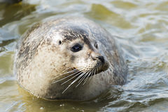 Floating gray seal Royalty Free Stock Photos