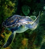FLOATING Green Sea Turtle Royalty Free Stock Photo