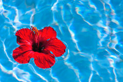 Floating hibiscus Stock Images