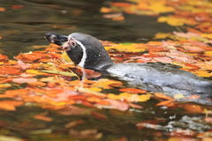 Floating Humboldt penguin stock images