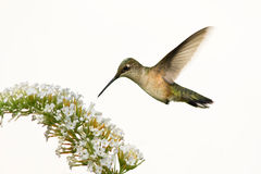 Floating hummingbird. Hummingbird floating over butterfly bush in preparation to eat stock images