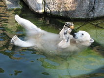 Floating ice bear. Ice bear floating in water in the zoo of Copenhagen. Holding an onion in front of its head royalty free stock photo