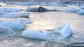 Floating Icebergs in a glacier lagoon in Iceland stock footage