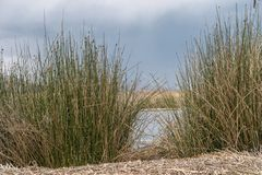 Floating islands cane. Cane thicket at floating Uros islands in Peru at Titicaca lake stock images