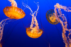 Floating Jelly Fish Stock Photos
