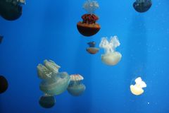 Floating jellyfish. Against blue background Royalty Free Stock Photography