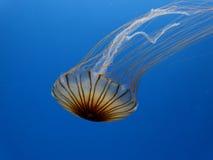 Floating jellyfish Stock Photo
