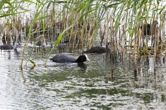 Duck and ducklings. Floating on the lake black mother duck-coot and grown ducklings, closeup on the lake among the reeds Royalty Free Stock Photo