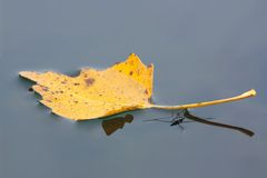 Floating leaf with water striders Royalty Free Stock Photo