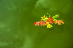 Floating leaves on green water. Image was taken on September 2013 Royalty Free Stock Photography