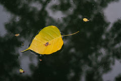 Floating leaves. Leaves floating left under wooden shade Stock Photography