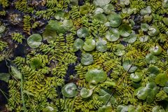 Free Floating Leaves Of Salvinia Natans And Hydrocharis Morsus-ranae Stock Images - 140103884