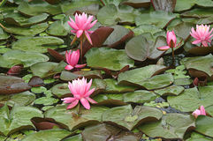 Floating Leaves with Pink Water Lilies Stock Photos