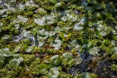 Floating leaves of Salvinia natans and Hydrocharis morsus-ranae royalty free stock images