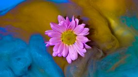 Floating light pink flower slowly wrapped in yellow and blue ink. Floating light pink flower chamomile toslowly wrapped in yellow and blue ink stock footage