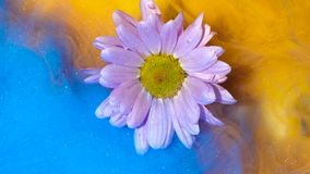 Floating light pink flower slowly wrapped in yellow and blue ink. Floating light pink flower chamomile toslowly wrapped in yellow and blue ink stock video footage