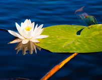 Floating lily. White lily floating on lake in Danube Delta Royalty Free Stock Images