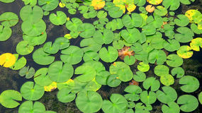 Floating lily pads Royalty Free Stock Photo