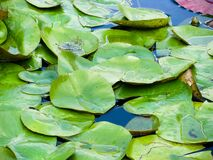 Floating Lily Pads Royalty Free Stock Image