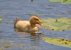 Floating a little yellow duckling. Fluffy little yellow duckling swimming in close-up Stock Images
