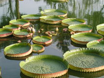 Floating lotus Royalty Free Stock Images
