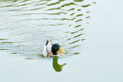 Floating Mallard. Floating male of Mallard or Wild Duck (Anas platyrhynchos) is a dabbling duck which breeds throughout the temperate and subtropical Americas Royalty Free Stock Photography