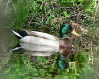 Floating Mallard Royalty Free Stock Photography