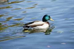 Mallard duck drake. Floating Mallard duck drake on the lake in autumn. The male is beautifully colored Stock Image