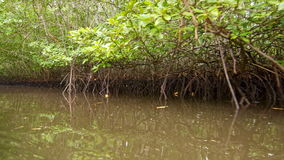 Floating through mangroves. Floating through green mangroves by the river stock footage