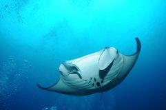 Floating manta ray Stock Images