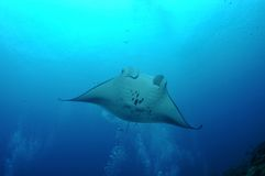 Floating manta Stock Image