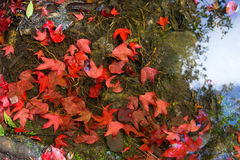Floating maple leaves royalty free stock image