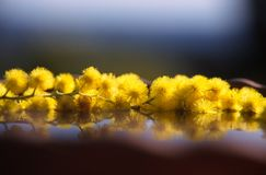 Floating mimosa. Mimosa twig on water Stock Images