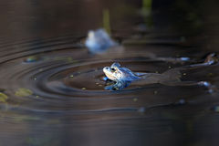 Floating moor frogs Stock Images