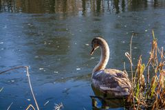Floating mute swan in a cold lake royalty free stock photo