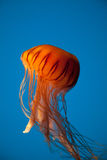 Floating Orange Jellyfish on Blue Background Royalty Free Stock Photography
