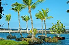 Floating palm trees. Beautiful green Palm trees on lava islands in the lagoon in Hawaii blowing in the wind Stock Image