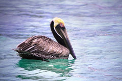Floating pelican. Close up of pelican floating in colorful water Stock Image