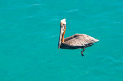 Floating pelican. In kristal clear sea Royalty Free Stock Photo
