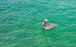 Floating Pelican Royalty Free Stock Photos