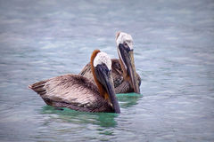 Floating pelicans. Close up of two pelicans floating in water Stock Photos