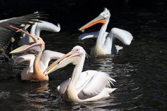 Floating pelicans Royalty Free Stock Photography