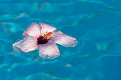 Floating pink hibiscus Stock Photo