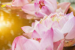 The floating pink  lotus flower. The floating pink lotus flower in the pond with warm lighting Stock Photos