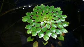 Floating plant. In fish bowl Stock Photo