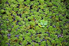 Floating plants. With one bigger plant swimming on a pond Royalty Free Stock Images
