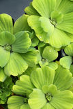 Floating plants stock photography