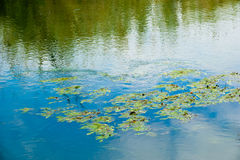 Floating plants. Plants with leaves foating on the water of a river royalty free stock image