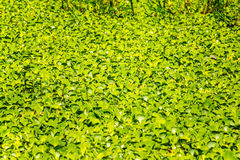 Floating Plants in the Amazon Stock Photo