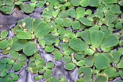 Free Floating Plants On A Pond Royalty Free Stock Image - 13762826